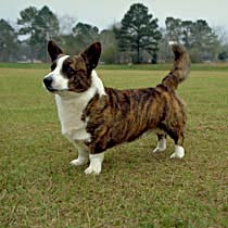 Welsh corgi, cardigan